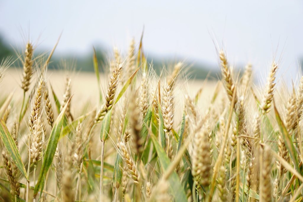 Grain mash